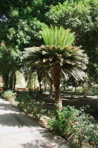 Sago Palm1