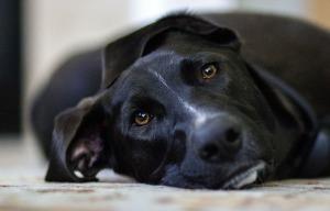 Dog flu1