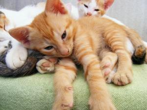Shelter_orange kitten