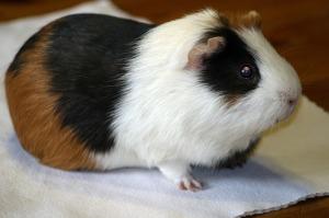 Guinea Pig2
