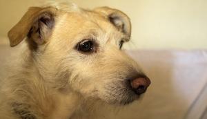Canine AD2