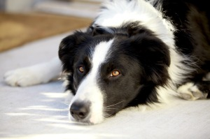 Canine AD5