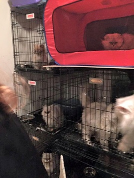 Video 17 Persian Cats Rescued From Heartbreaking Neglect