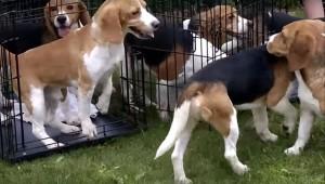 Beagles1