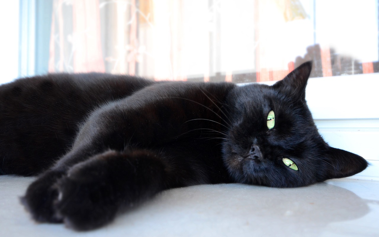 Fascinating Facts About Black Cats - FACE Foundation Blog