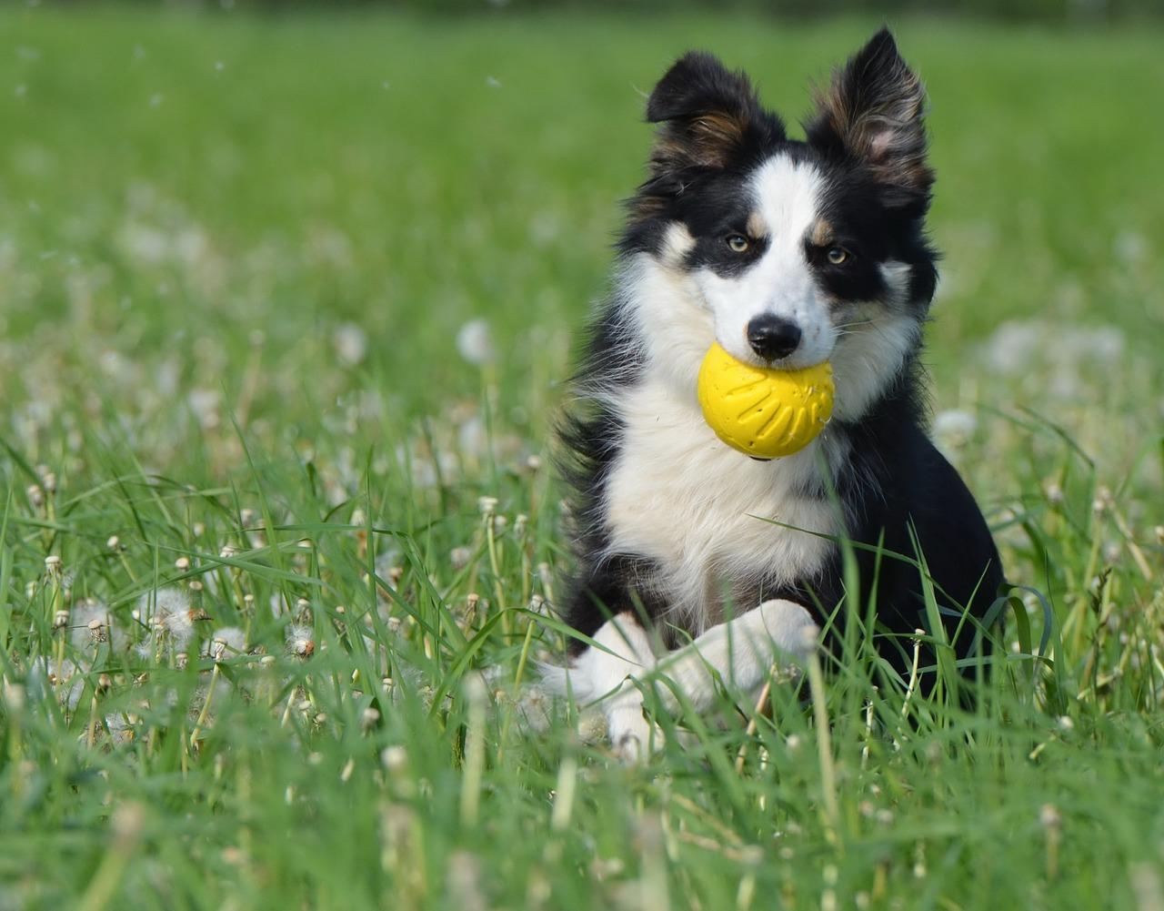 Duke Professor Offers Free Dog Psychology Course ...  |Dog Play