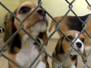 rescued_beagles_rancho_coastal_humane_society_1424741858223_13793229_ver1_0_640_480