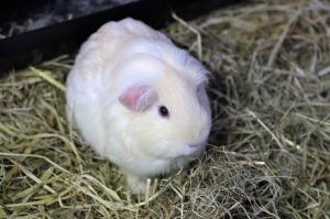 smoking-guinea-pig