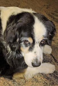 senior-dog2