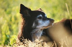 senior-dog4