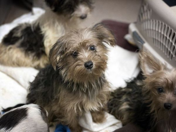 123 Yorkie-Mix Dogs Rescued From San Diego-Area Home ...