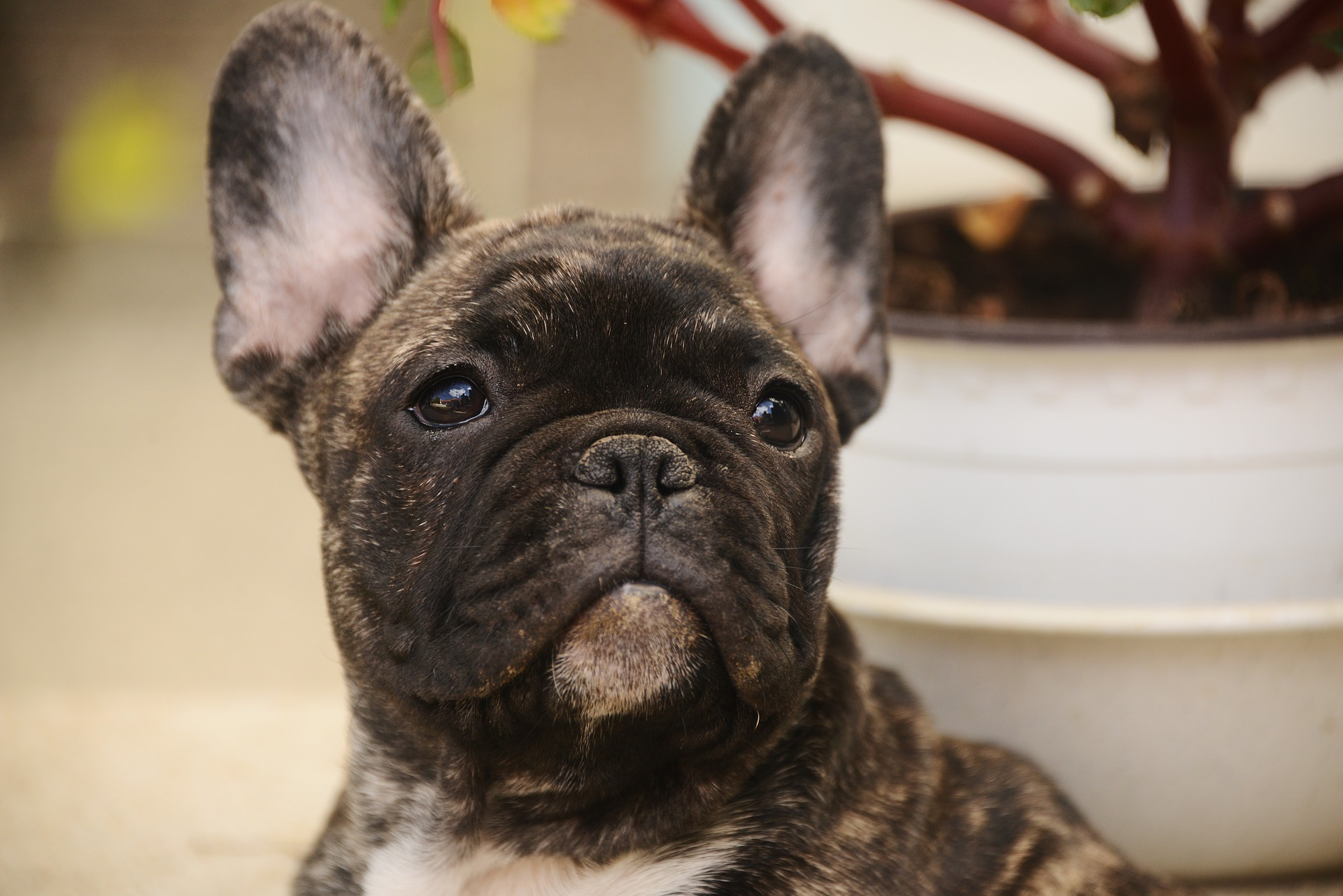 New Study Looks At Health Problems Of French Bulldogs Face Foundation