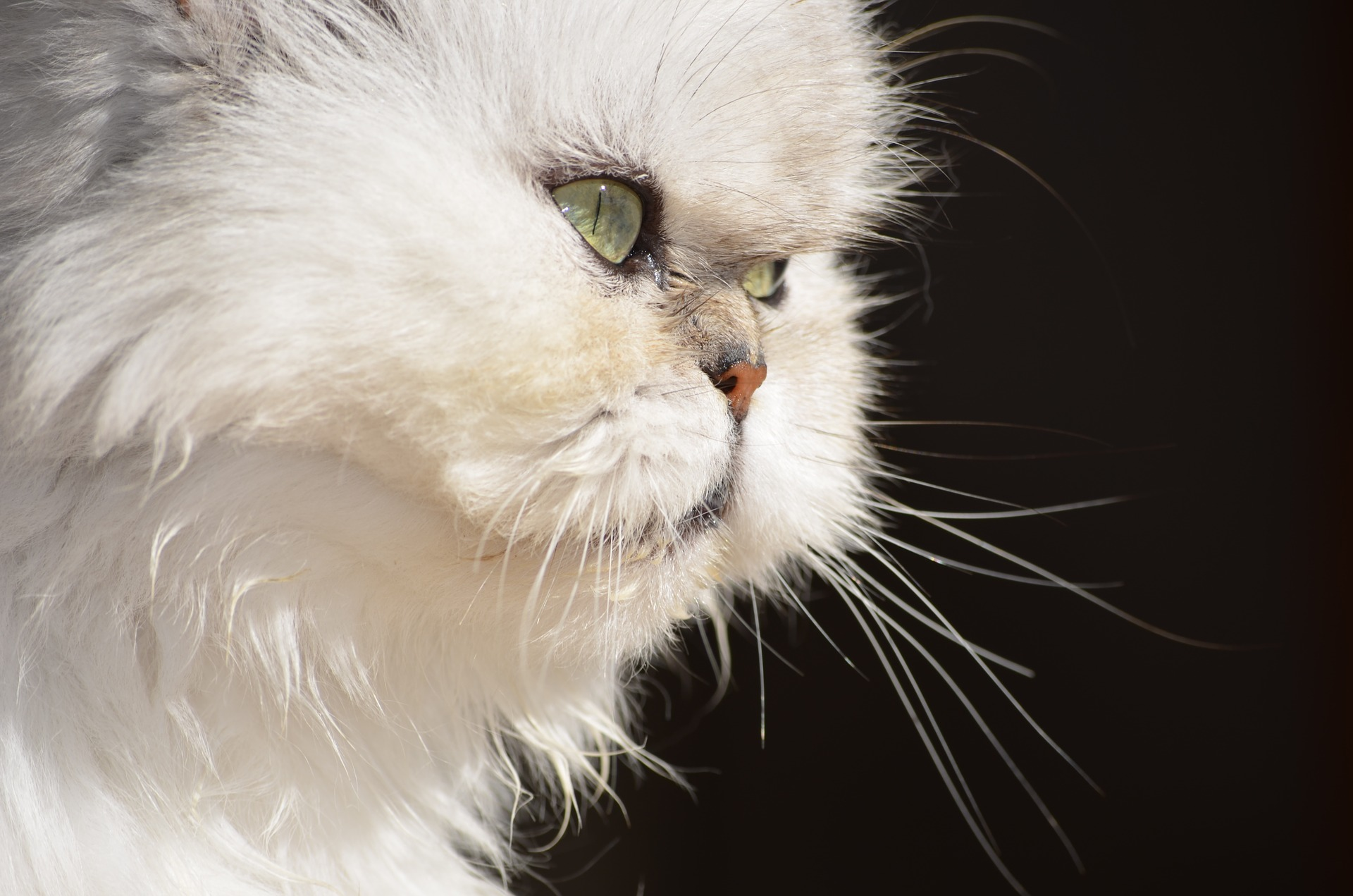 Dental Problems in Flat-Faced Cat Breeds | FACE Foundation
